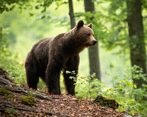 Un oso en Asturias